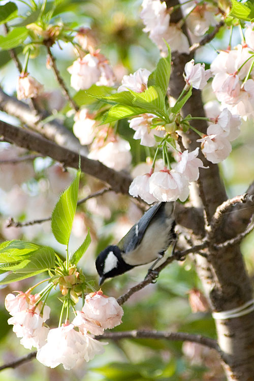 桜にとまるシジュウカラ