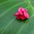 葉に落ちた花