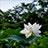 蓮の花 その1