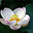 蓮の花 その2