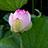 蓮の花 その3