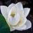蓮の花 その4