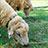 羊の除草実験