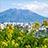 菜の花と桜島