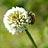 蜂と白詰草