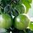 グリーンミニトマト
