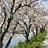 瑞梅寺川沿いの桜並木