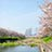 瑞梅寺川沿いの桜