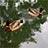 大濠公園の鴨