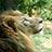 ライオン「キング」