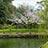 御花 東庭園の桜