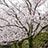 石垣と満開桜